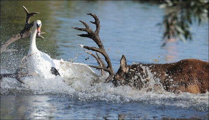 Битва между оленем и лебедем (5 фото)
