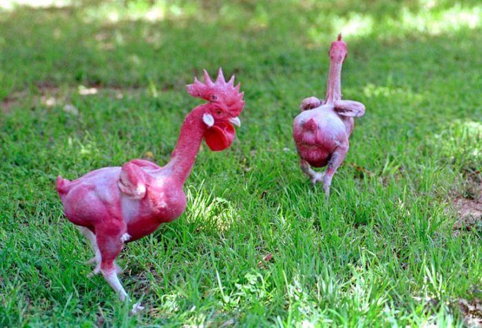 Голые курицы (5 фото)