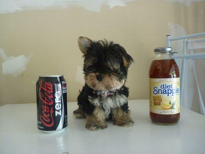 Маленькие собачки (19 фото)
