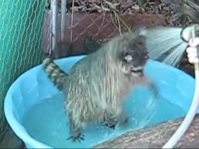 Мегапозитивный енот очень любит купаться
