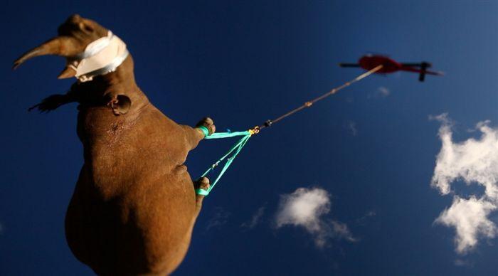 Странная транспортировка носорогов (4 фото)