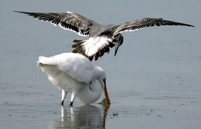 Чайка-воровка (3 фото)