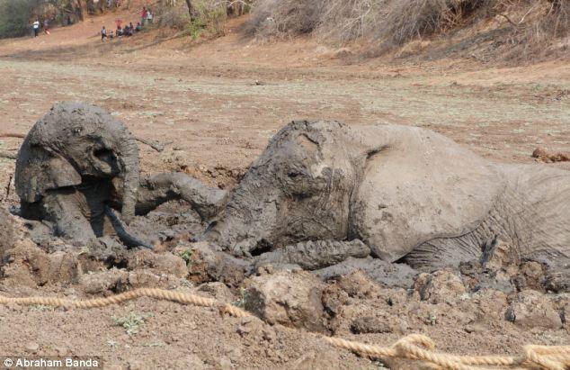 Спасение двух слонов (17 фото)