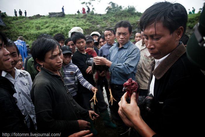 Петушиные бои во Вьетнаме (26 фото)