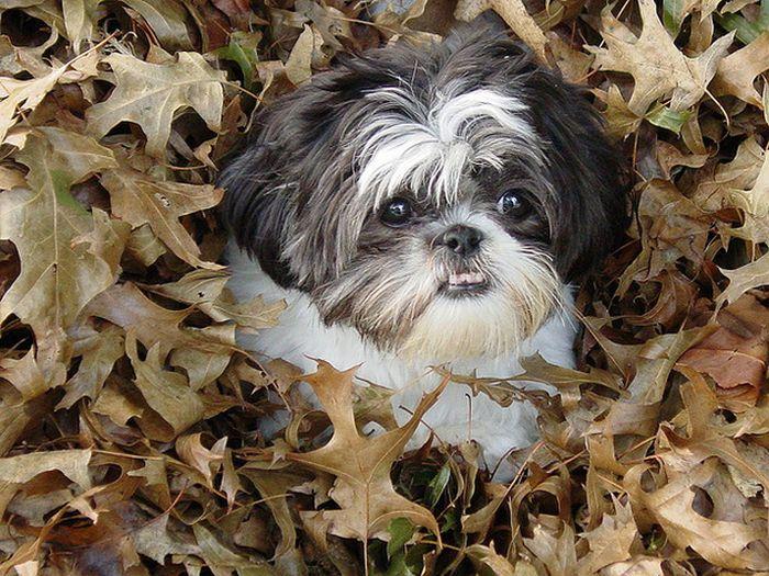 Собаки играют в листьях (41 фото)