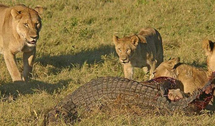 Аллигатор против разъяренных львиц (9 фото)