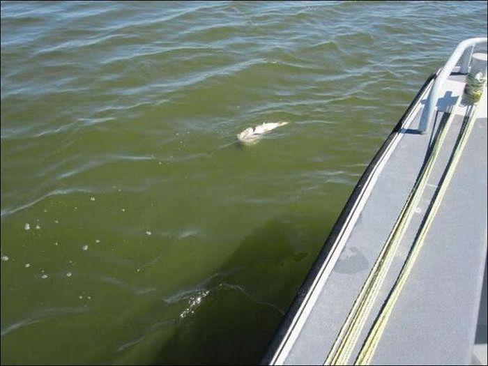 Рыба немного не рассчитала (4 фото)
