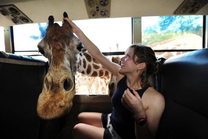 Забавный жираф (3 фото)