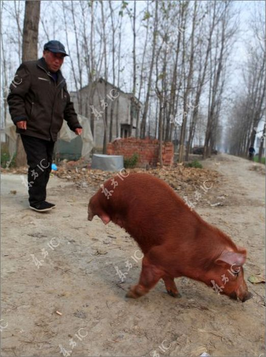 Поросенок, который ходит на двух лапах (12 фото)
