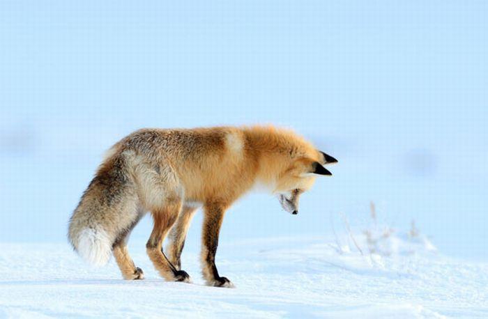 Лиса на охоте (7 фото)