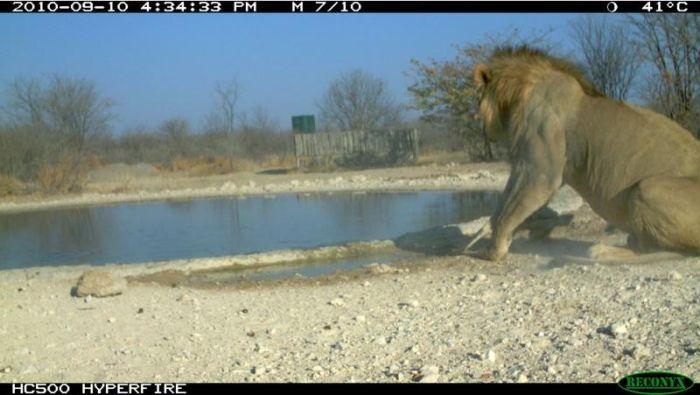 Шакал атаковал льва (10 фото)