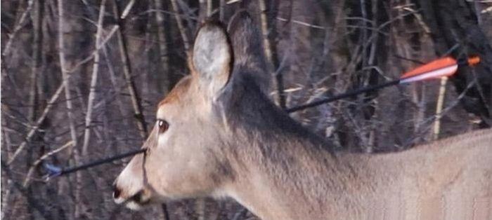 Раненый олень (3 фото)