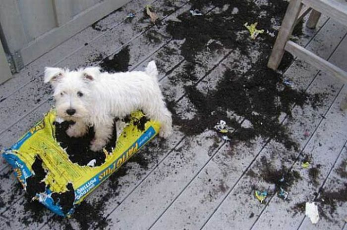 Собаки хулиганят (25 фото)