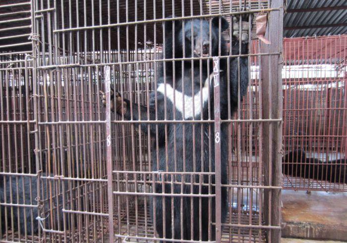 Ферма по добыче медвежьей желчи во Вьетнаме (8 фото)