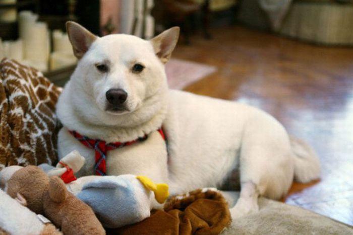 Пес-счастливчик (9 фото)