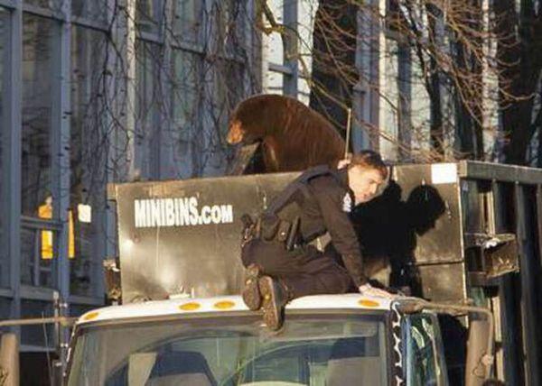 Медведь прокатился в мусоровозе (14 фото + видео)
