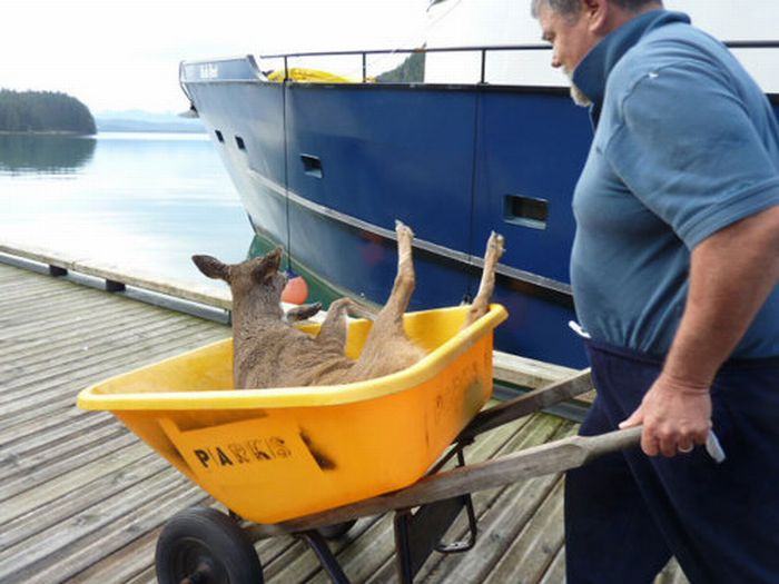Спасение оленей на Аляске (4 фото)