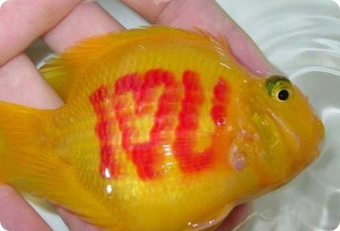 Золотые рыбки с татуировкой (11 фото)