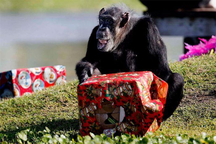 Шимпанзе любят подарки (11 фото)