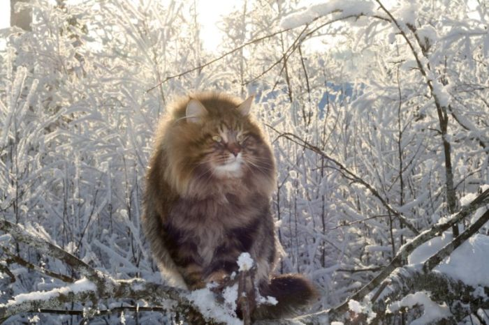 Шикарный сибирский кот (15 фото)