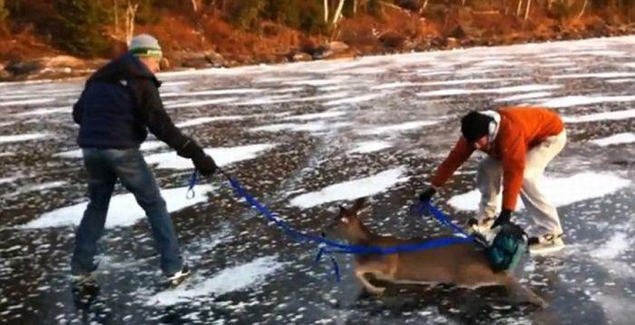 Спасенный олень (7 фото + видео)