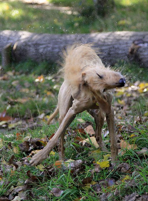 Собаки отряхиваются (16 фото)