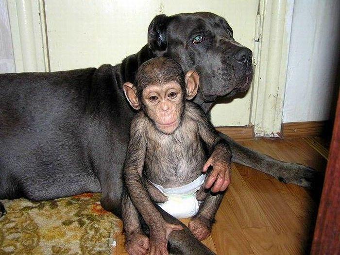 Мастиф усыновил шимпанзе (30 фото)