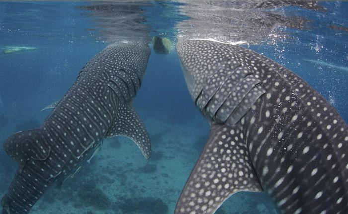 Китовые акулы на Филиппинах (13 фото)