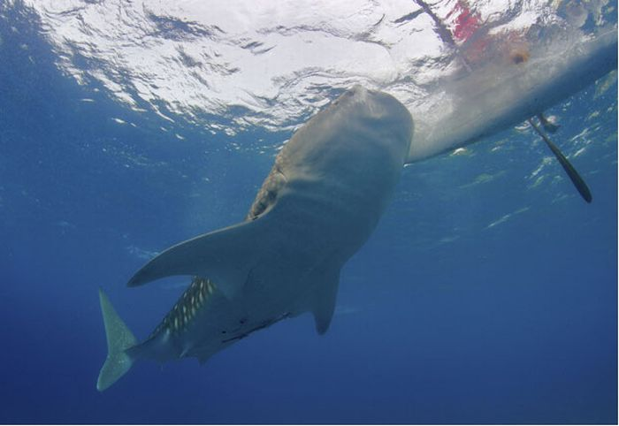 Китовые акулы наФилиппинах (13 фото)