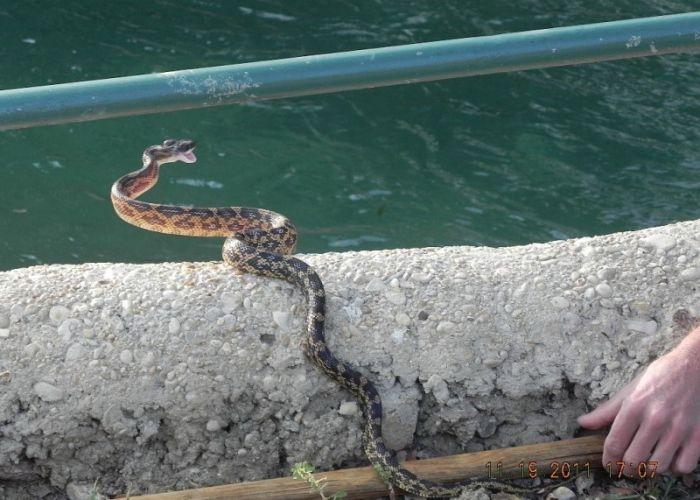 Жесткая схватка сокола и змеи (8 фото)