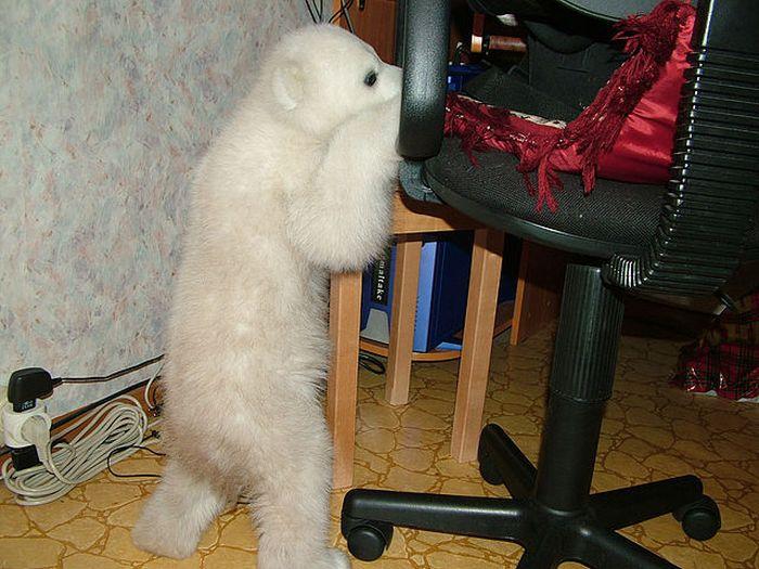 Спасение полярного медведя (18 фото)
