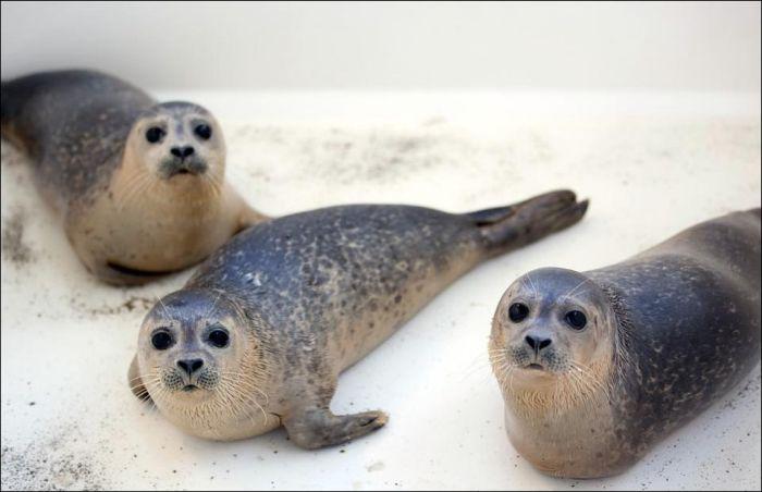 Спасение тюлений в Дании (9 фото)