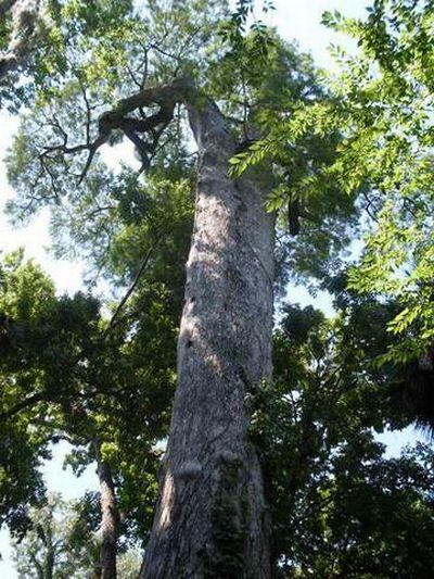 Сгорело одно из самых старых деревьев (18 фото)