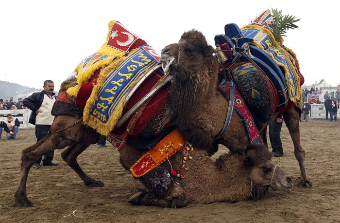 Бои верблюдов в Турции (13 фото)