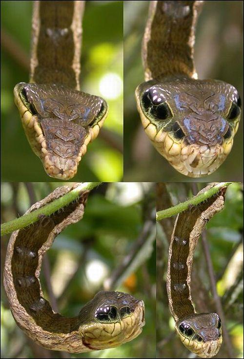 Гусеница, которая маскируется в змею (2 фото)