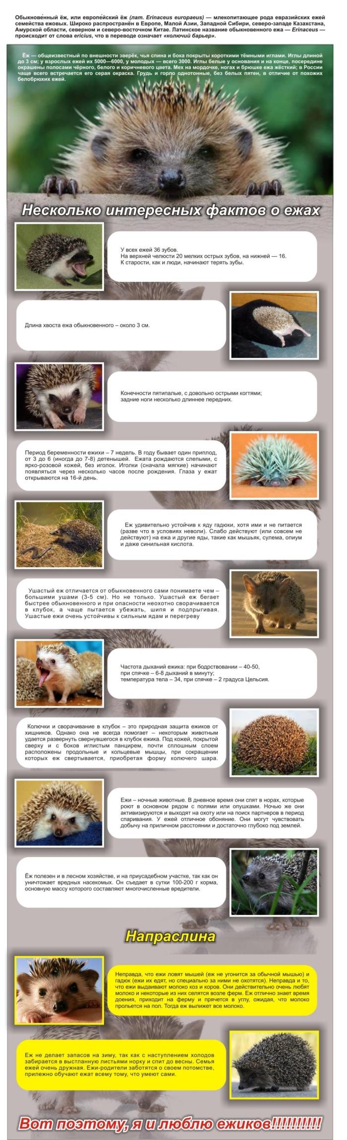 Познавательно про ежиков (1 картинка)