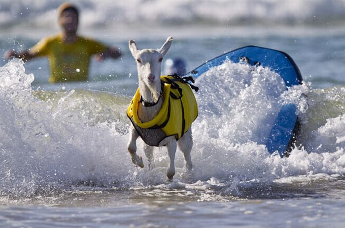Козочка которая любит серфинг (13 фото)
