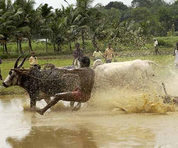 Марамади - серфинг на быках (41 фото)