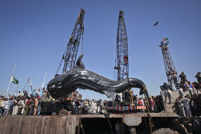 Китовая акула на побережье Пакистана (8 фото)