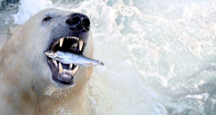 16. Полярный медведь лакомится брошенной ему служителями