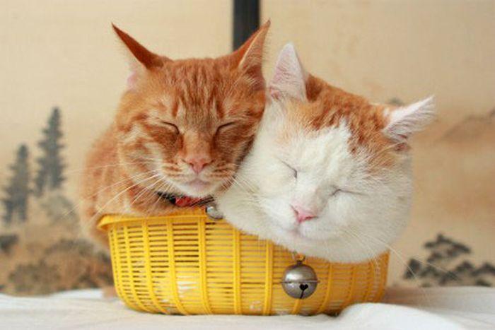 Два кота в одной корзинке (4 фото)