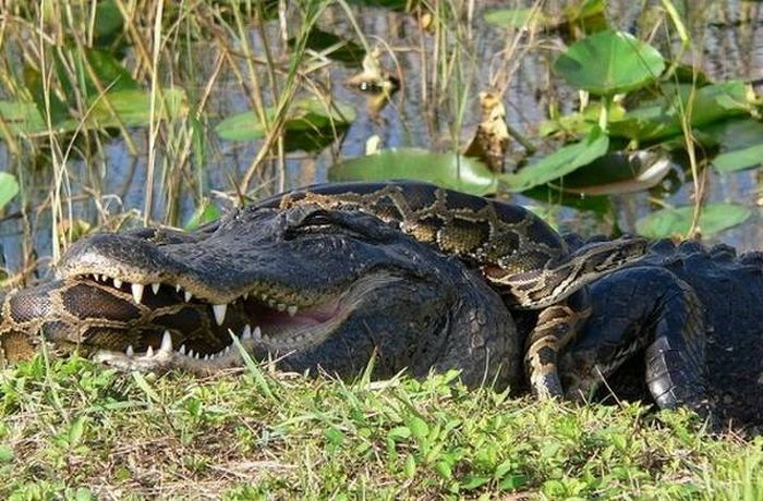 Змеиные нападения (25 фото)