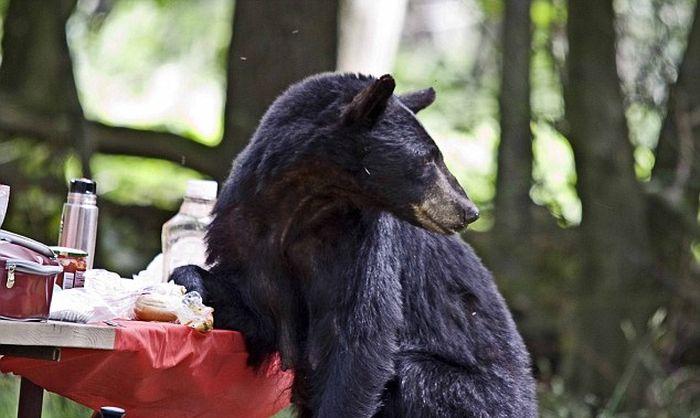 Голодный медведь помешал семейному пикнику (6 фото)