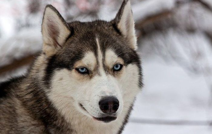 Животные. красивые собаки. хаски.  5 раз.  Процитировали.