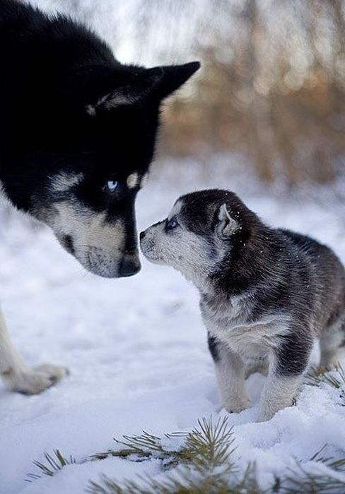 Милые собаки - хаски (47 фото)