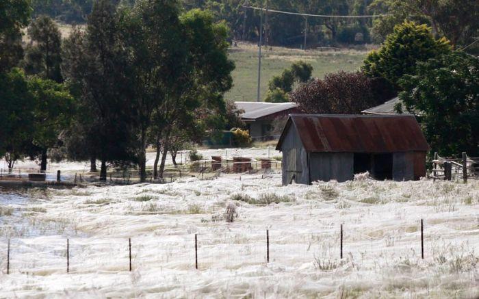 Тысячи пауков атаковали Австралию (8 фото)