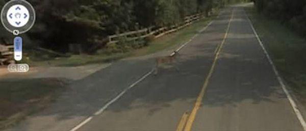 Автомобиль Google сбил олененка (3 фото)