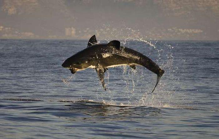 Акулы на охоте (25 фото)