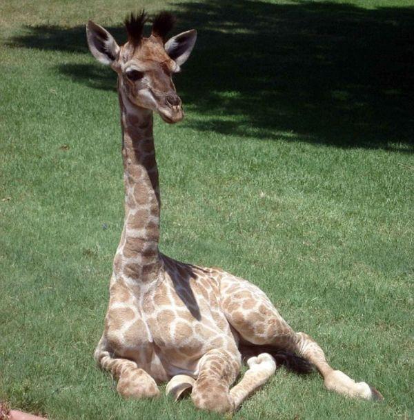 Домашний жираф по имени Финни (10 фото)
