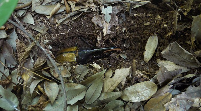 Жизнь жука-геркулеса (55 фото)